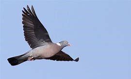 demandes d'autorisation complémentaire de destruction à tir du pigeon ramier -Saison 2021